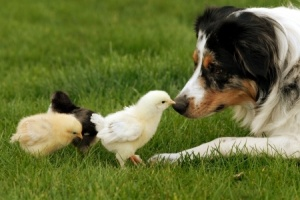 17357962 - a herding dog being very gentle with baby chicks