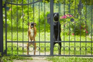 18947950 - two dogs behind metal fence